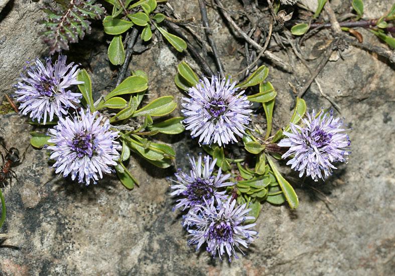 Globularia cordifolia - Herzblättrige Kugelblume - Fam. Globulariaceae - Felsspalten - rock crevices