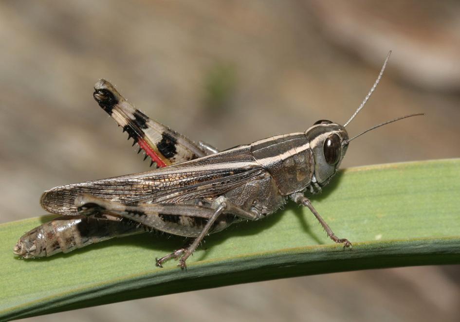 Heteracris littoralis - Fam. Acrididae/Eyprepocnemidinae  -  Fourni - Caelifera - Kurzfühlerschrecken - grasshoppers