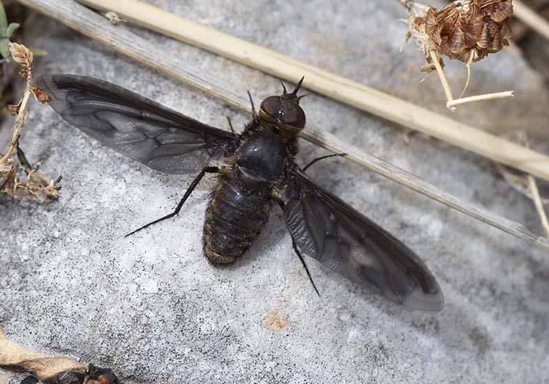 Heteralonia megerlei  -  Pilion (Griechenland) - Diptera - Fliegen