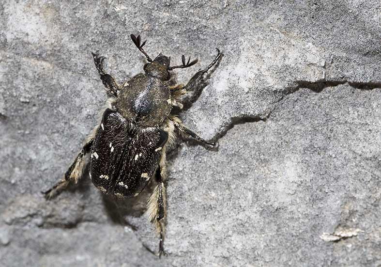 Heterocnemis graeca - Fam. Cetoniidae  - Pilion (Griechenland) - Scarabaeidea - Blatthornkäfer - scarab beetles