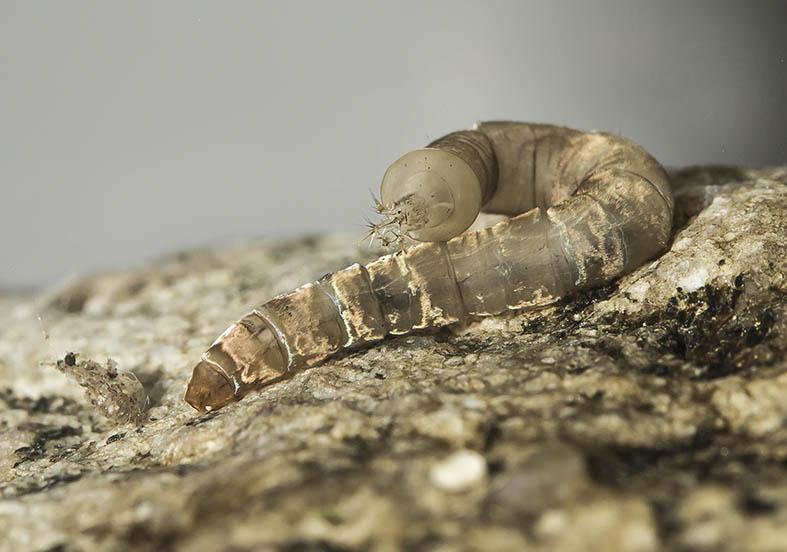Hexatoma sp. - Fam. Limoniidae - Stelzmücke - aquatische Dipteren-Larven