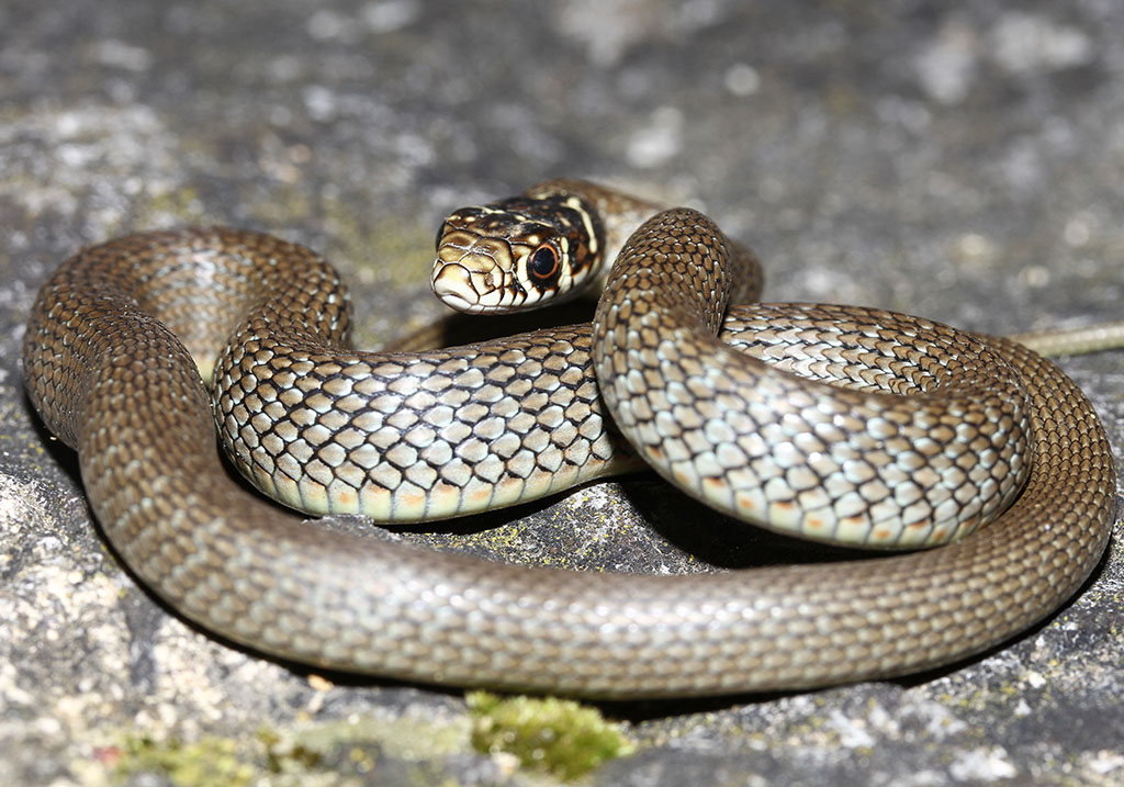 Hierophis viridiflavus -  Gelbgrüne Zornnatter - Juvenil (Toscana) - Serpentes - Schlangen - snakes