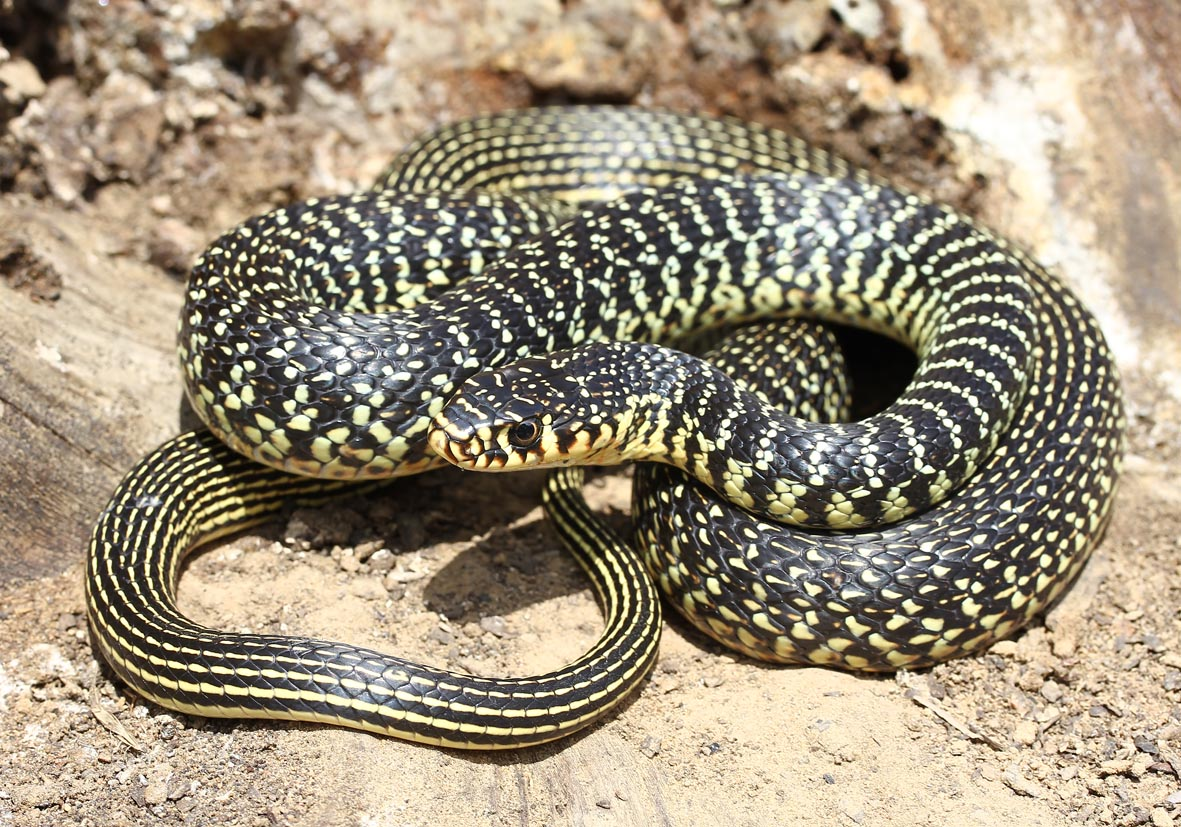 Hierophis viridiflavus - Gelbgrüne Zornnatter - Toscana - Serpentes - Schlangen - snakes