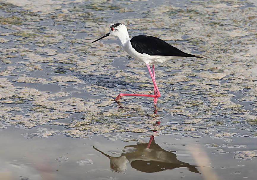 Himantopus himantopus - Stelzenläufer  - Lesbos - Aves - Vögel - birds