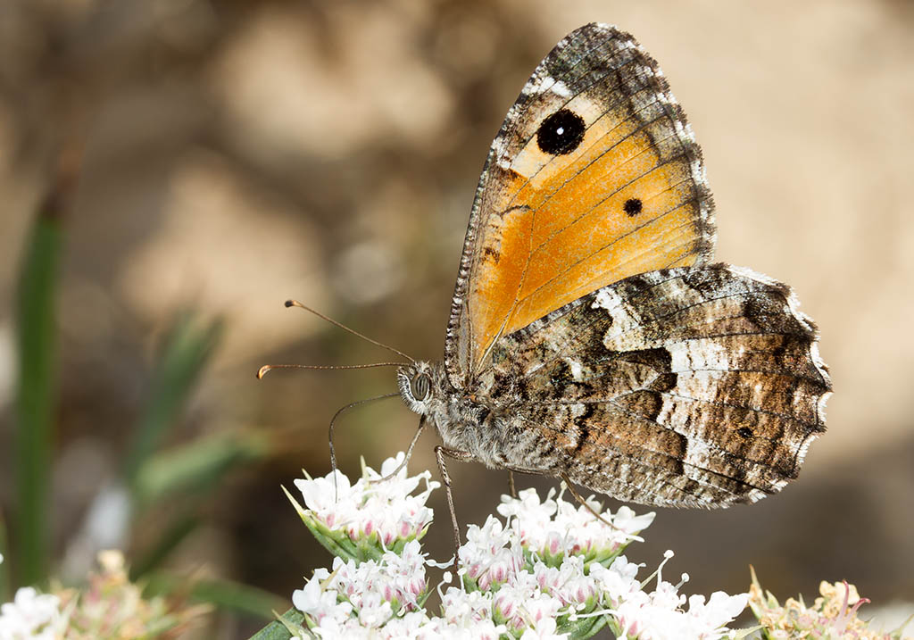 Hipparchia aristaeus - Sardinien - Nymphalidae - Edelfalter - brush-footed butterflies
