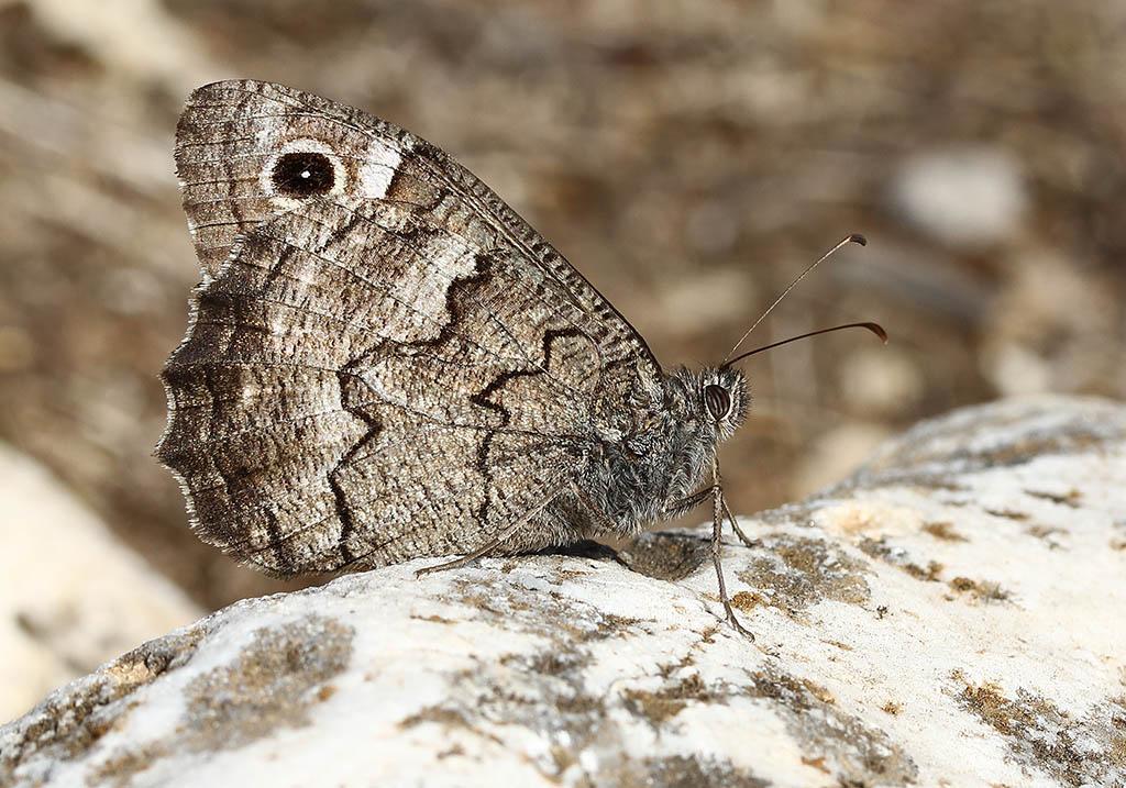 Hipparchia cf. fatua - Samos - Nymphalidae - Edelfalter - brush-footed butterflies