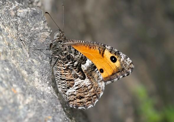 Hipparchia semele - Ockerbindiger Samtfalter -  - Nymphalidae - Edelfalter - brush-footed butterflies