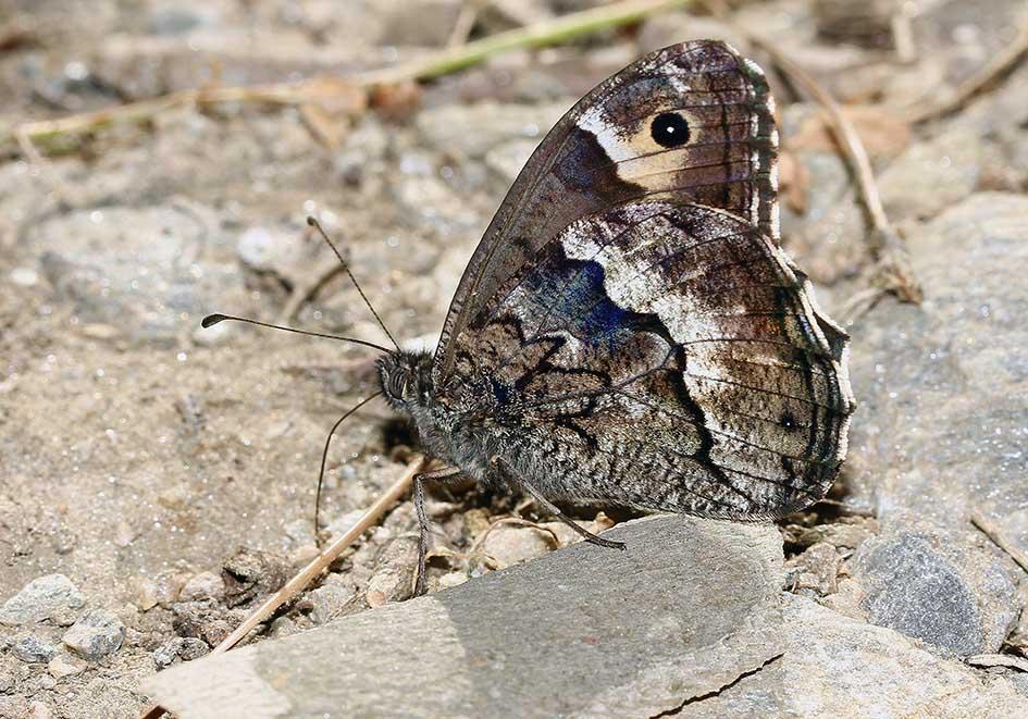 Hipparchia syriaca - Syrischer Waldportier - Samos - Nymphalidae - Edelfalter - brush-footed butterflies