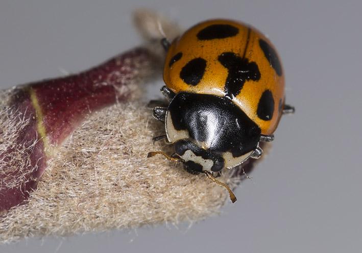 Hippodamia notata - Berg-Marienkäfer -  - Coccinellidae - Marienkäfer - lady beetles