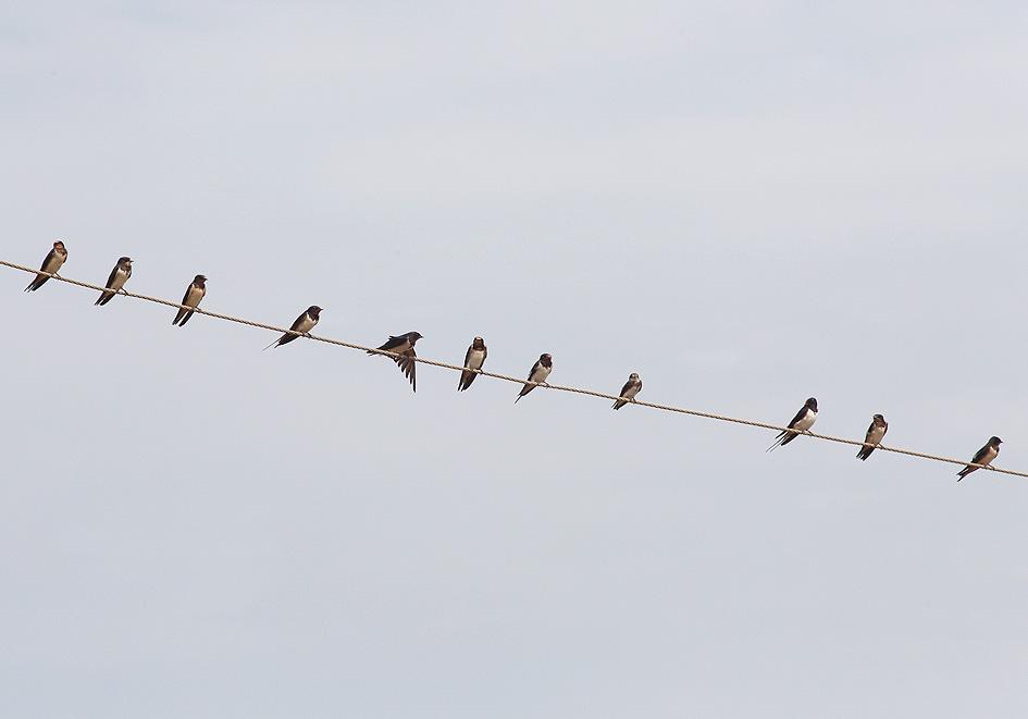 Hirundo rustica - Rauchschwalbe - Samos - Aves - Vögel - birds