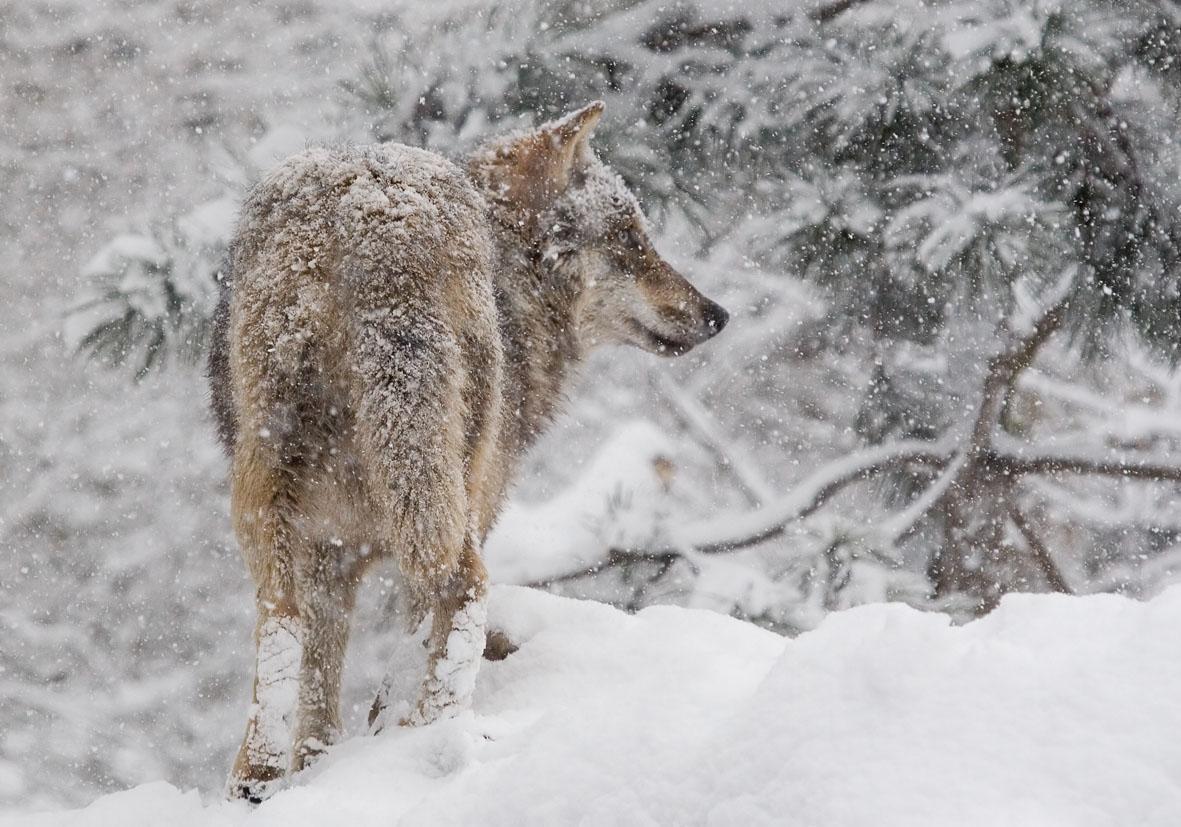 Canis lupus - Wolf - Alpenzoo - Carnivora - Raubtiere - carnivorans