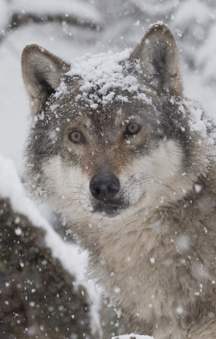 Canis lupus - Wolf -  - Carnivora - Raubtiere - carnivorans
