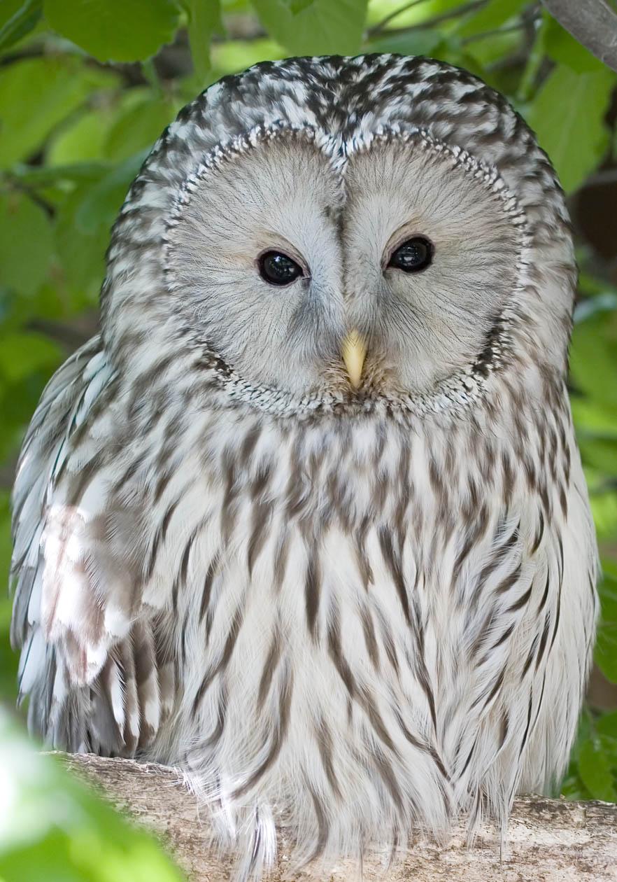 Strix uralensis - Habichtskauz - Ural owl - Alpenzoo - Strigiformes - Eulen - owls