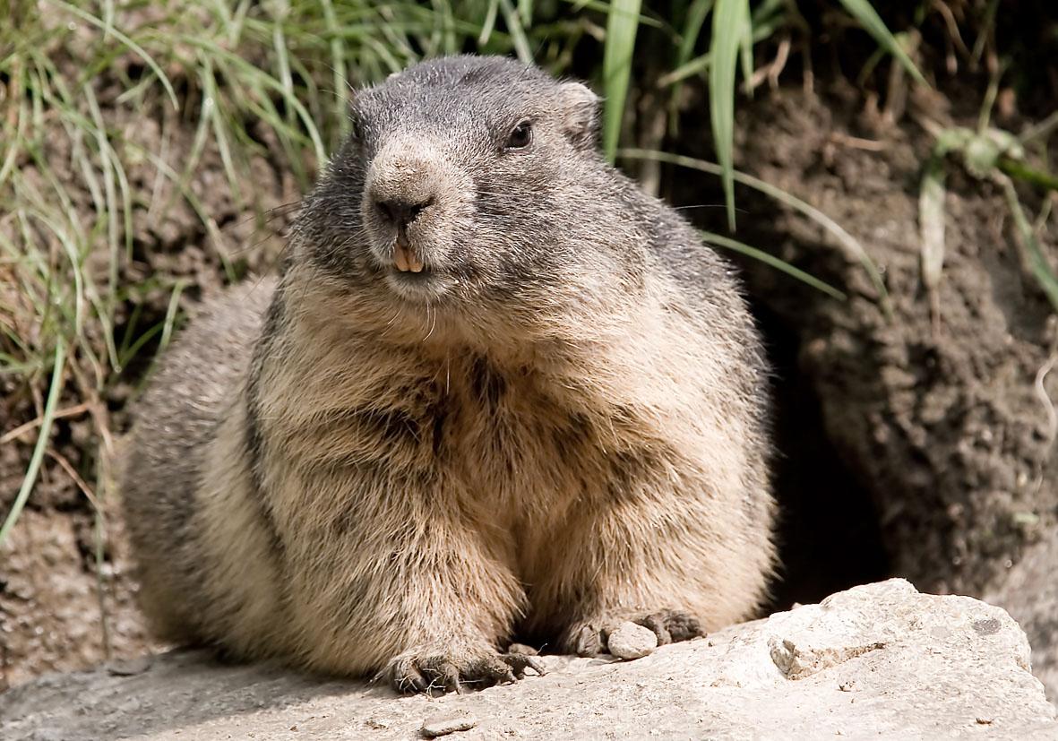 Marmota marmota - Murmeltier - Alpenzoo - Rodentia - Nagetiere - rodents