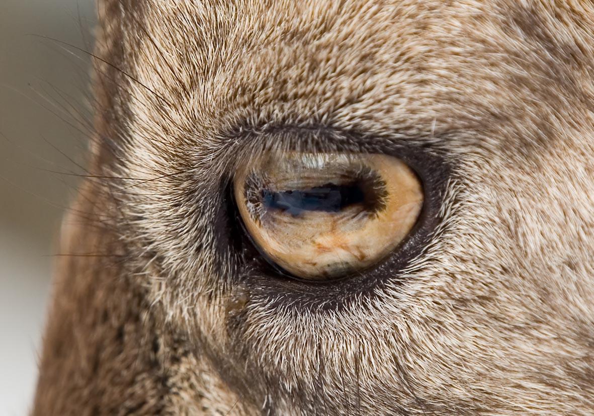 Capra ibex - Alpensteinbock - Alpenzoo - Artiodactyla - Paarhufer - even-toed ungulates