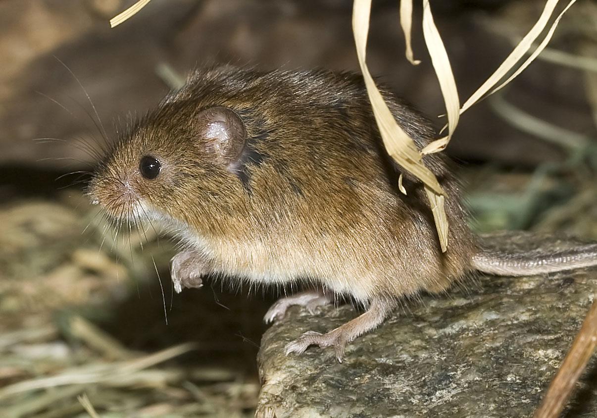 Micromys minutus - Zwergmaus - Alpenzoo - Rodentia - Nagetiere - rodents