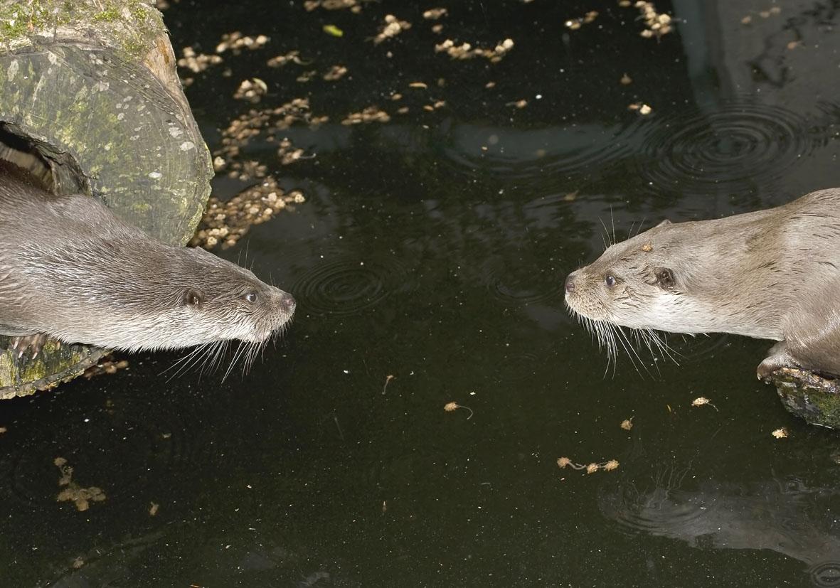 Lutra lutra - Fischotter - Alpenzoo - Carnivora - Raubtiere - carnivorans