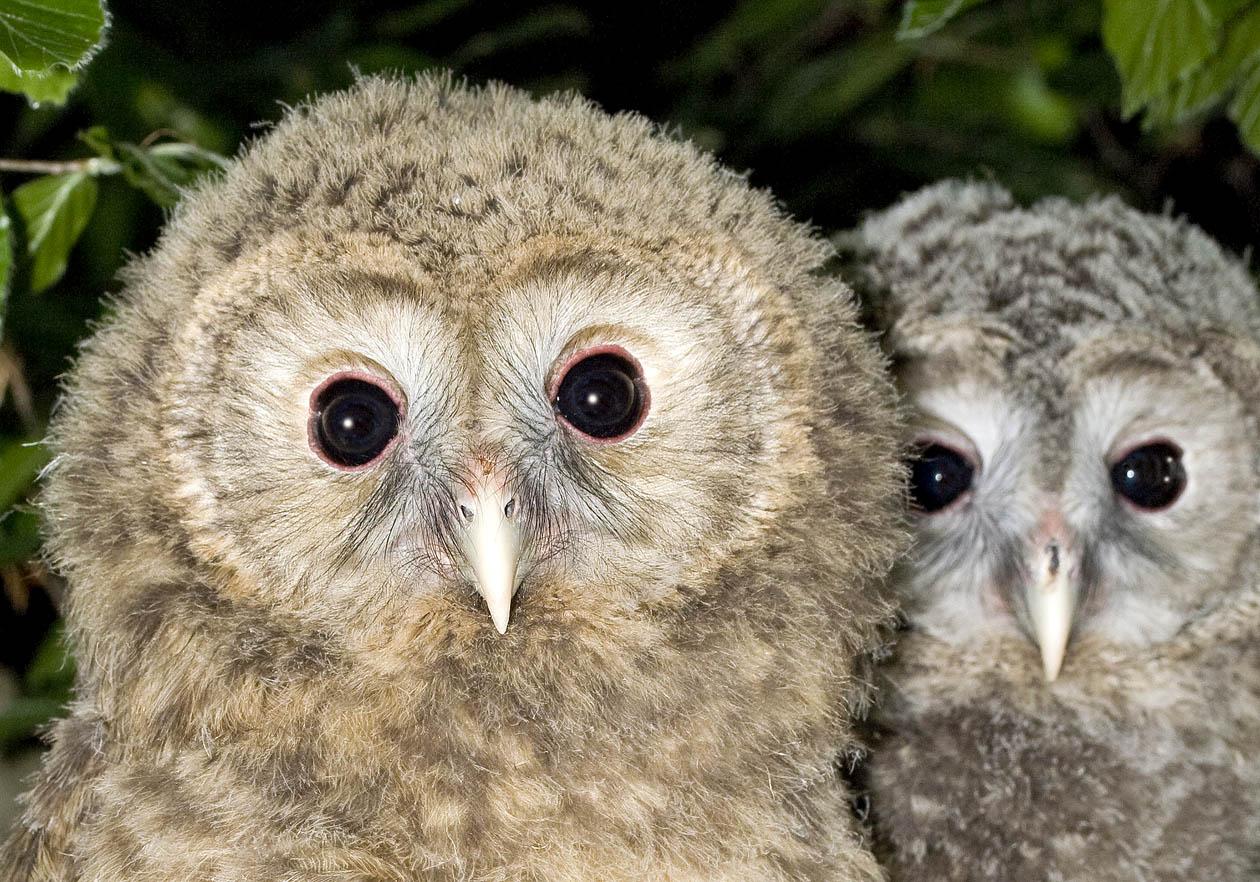 Strix uralensis - junge Habichtskäuze - Ural owl  - Alpenzoo - Strigiformes - Eulen - owls