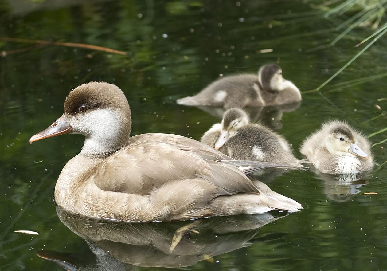 Netta rufina - Kolbenente - Red-crested pochard - Alpenzoo - Anatidae - Entenvögel - ducks, gees, swans