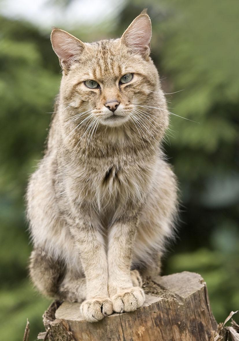 Felis silvestris - Wildkatze - Alpenzoo - Carnivora - Raubtiere - carnivorans