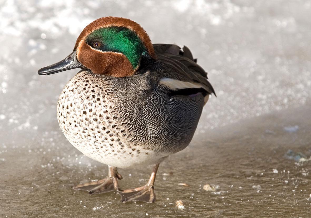 Anas crecca - Krickente- Teal - Alpenzoo - Anatidae - Entenvögel - ducks, gees, swans