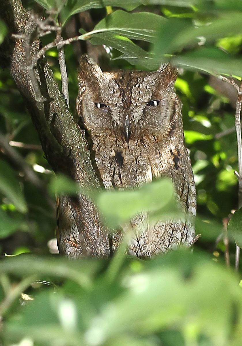 Otus scops - Zwergohreule - Scops owl -  - Strigiformes - Eulen - owls