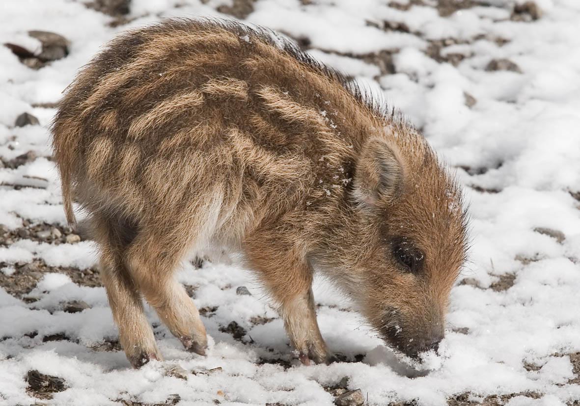 Sus scrofa - Wildschwein - Alpenzoo - Artiodactyla - Paarhufer - even-toed ungulates