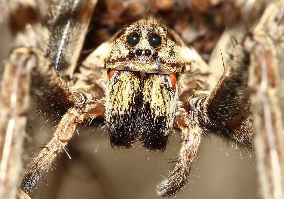 Hogna radiata -  schwarzbäuchige Tarantel - Fam. Lycosidae  -  Korfu - Araneae - Webspinnen - orb-weaver spiders