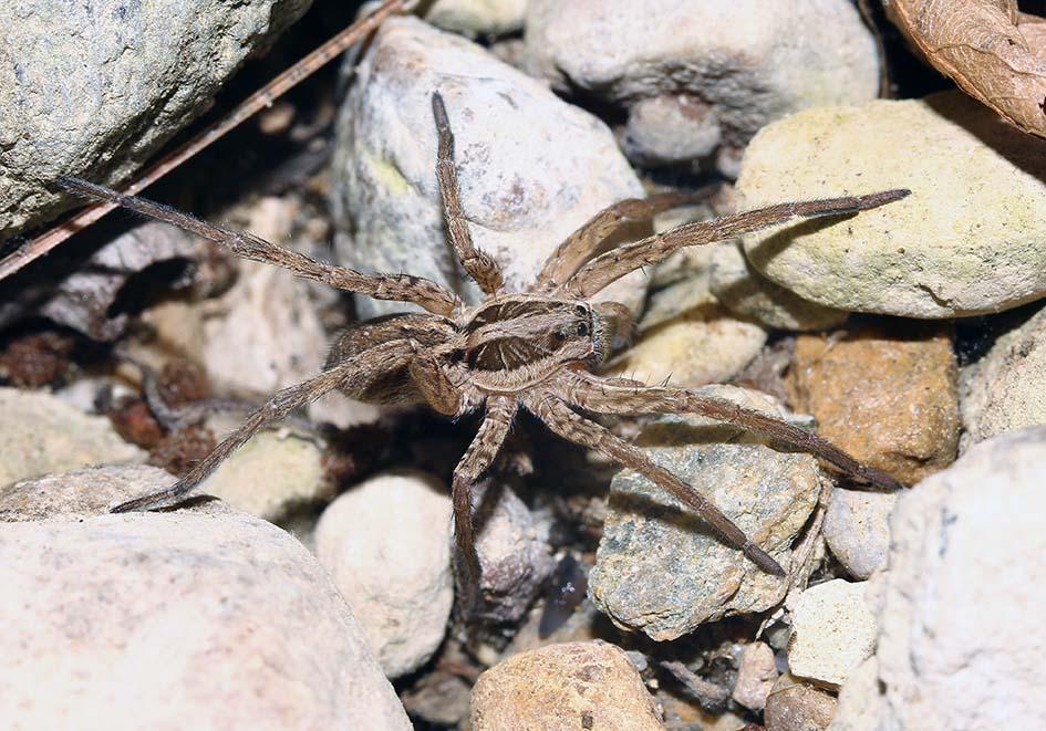 Hogna radiata - Schwarzbäuchige Tarantel - Fam. Lycosidae  -  Samos - Araneae - Webspinnen - orb-weaver spiders