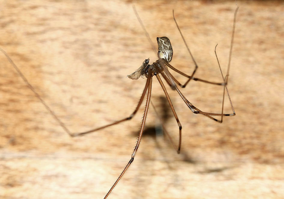 Holocnemus pluchei - Fam. Pholcidae  -  Samos - Araneae - Webspinnen - orb-weaver spiders