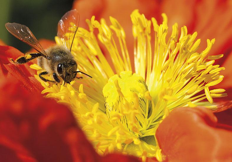Honigbiene - Mohn - Papaver sp. -  - Blüten - Flowers