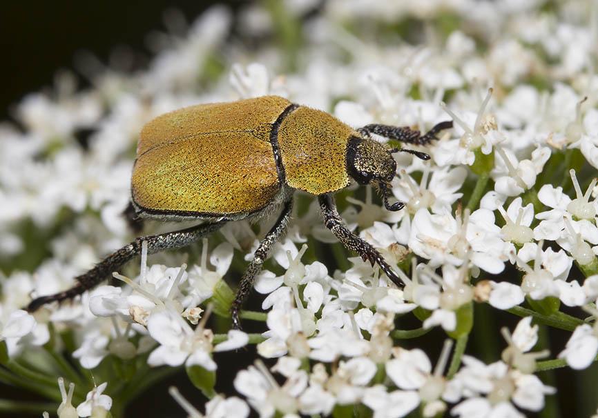 Hoplia argentea - Goldstaub-Laubkäfer - Fam. Rutelidae - Scarabaeoidea - Blatthornkäfer - scarab beetles