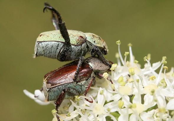 Hoplia  argentea - Goldstaublaubkäfer - Fam. Rutelidae - Scarabaeoidea - Blatthornkäfer - scarab beetles