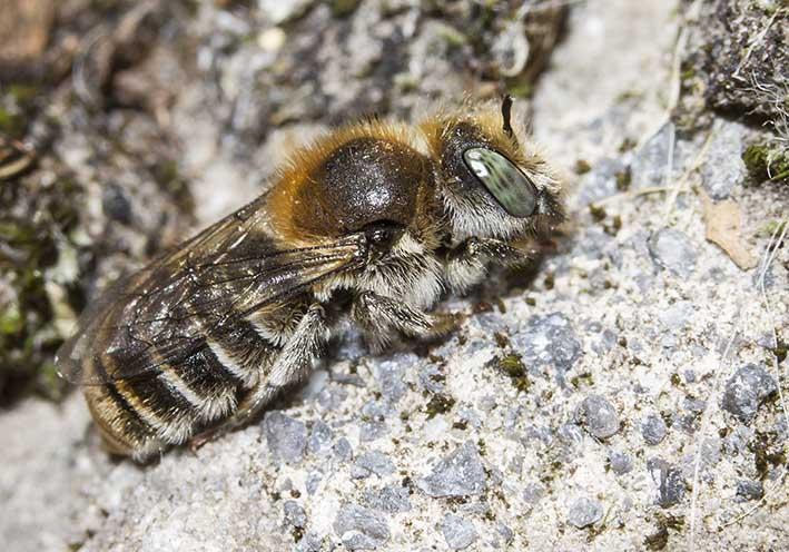 Hoplitis loti  -  - Apidae - Megachilinae - Bienen - bees