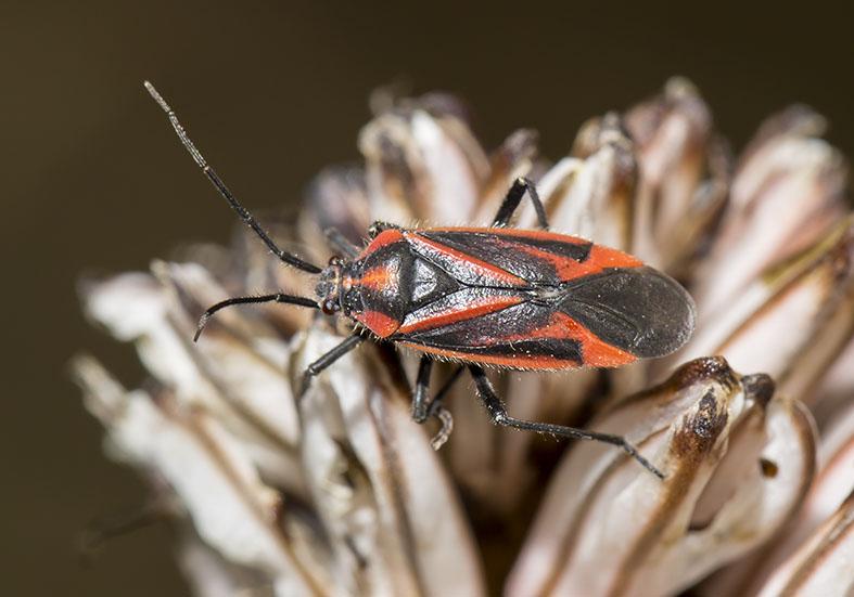 Horistus infuscatus - Fam. Miridae  -  Naxos - Heteroptera - Wanzen - true bugs