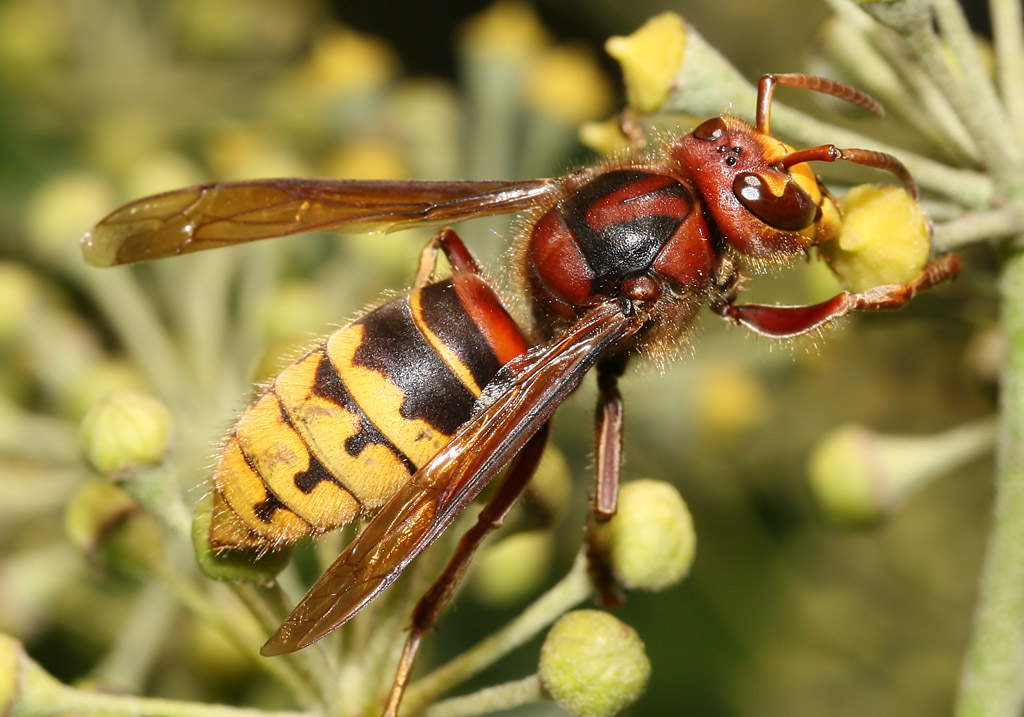 Vespa crabro - Hornisse -  - Vespidae - Faltenwespen - wasps