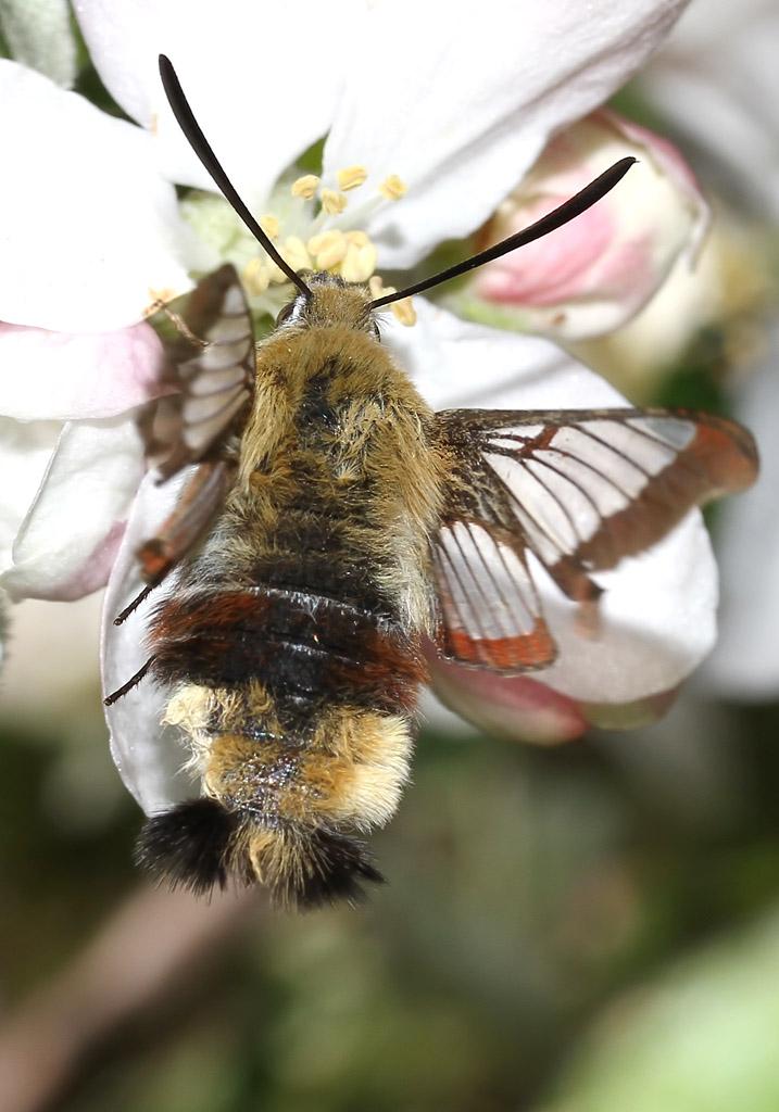 Hemaris fuciformis - Hummelschwärmer -  - Sphingidae - Schwärmer - hawk moths