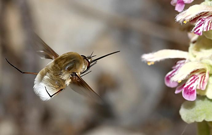 Bombyliidae - Hummelschweber - bee fly - Amorgos - Diptera - Fliegen