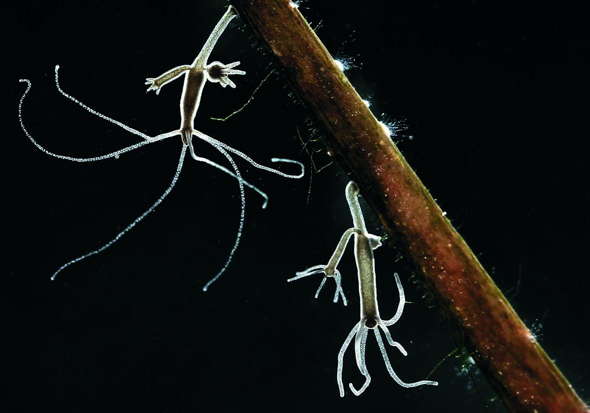 Hydra oligactis - Cnidaria - Nesseltiere - Aquatisch - aquatic