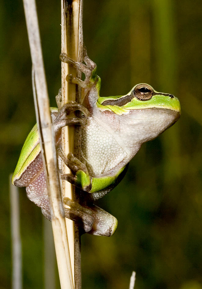 Hyla arborea - Laubfrosch -  - weitere Amphibien - other amphibians