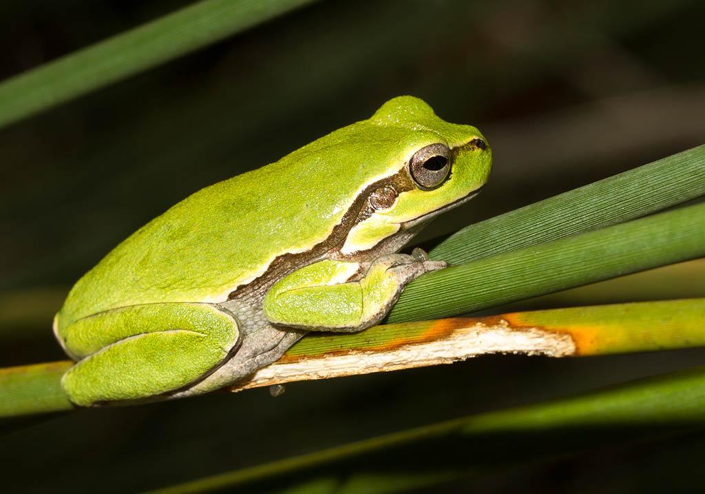 Hyla sarda - Tyrrhenische Laubfrosch - Sardinien - Hylidae - Laubfrösche - tree frogs