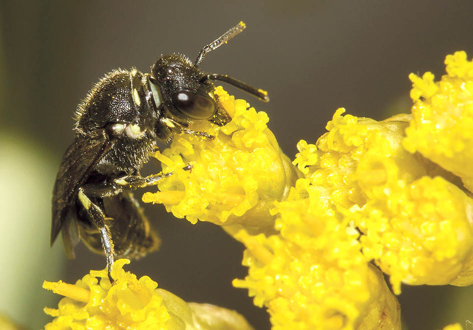 Hylaeus punctatus  - Maskenbiene - Colletinae - Apidae - diverse - Bienen - bees
