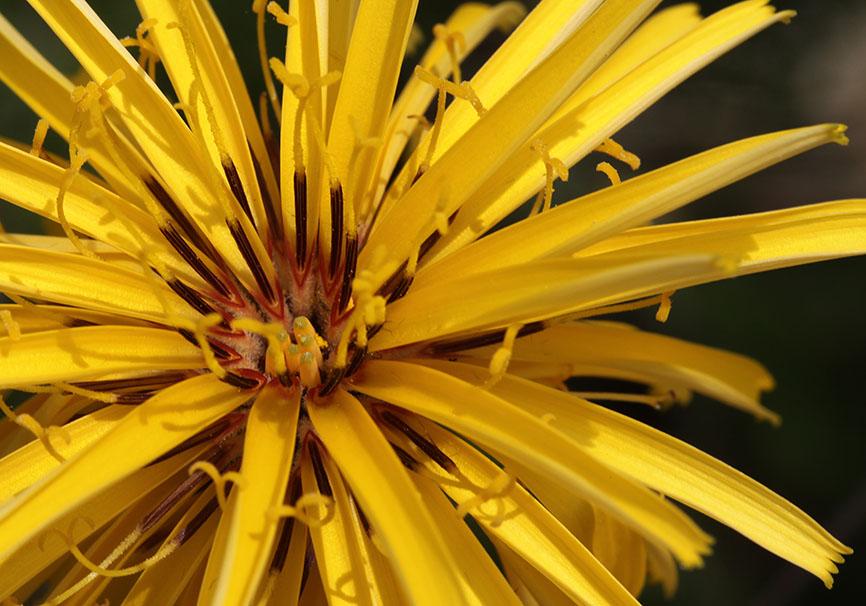 Hymenonema graecum -  - Blüten - Flowers