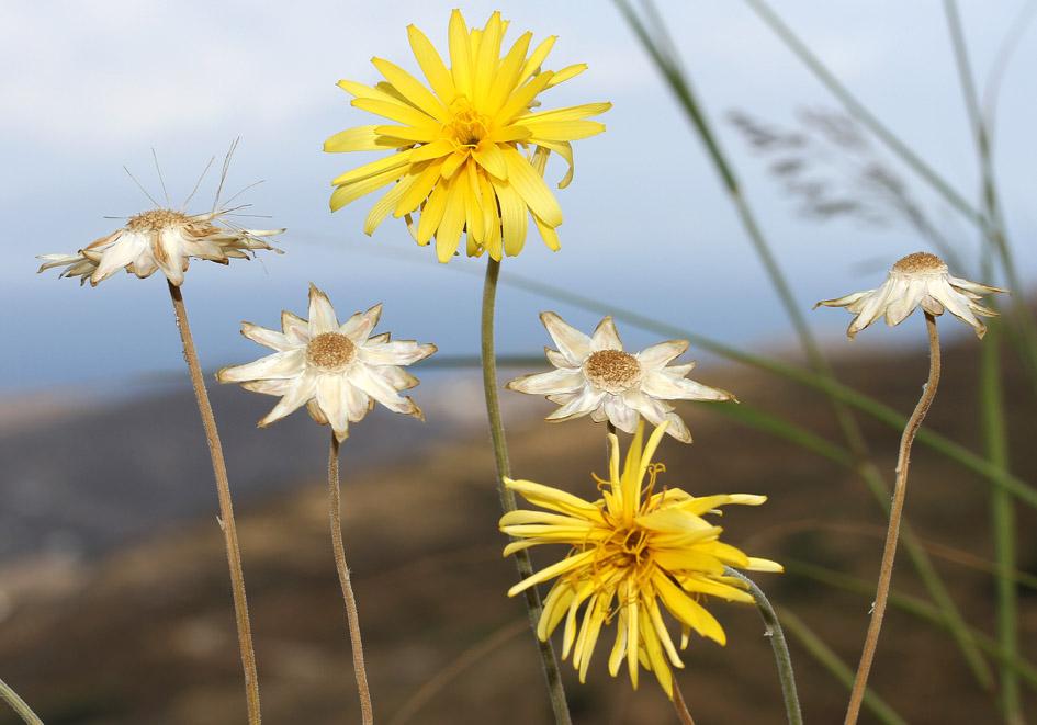 Hymenonema graecum -  - Gras- und Felsfluren - grassy and  rocky terrains