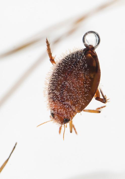 Hyphydrus ovatus - Kugelschwimmer -  - Dytiscidae - Schwimmkäfer - water beetles
