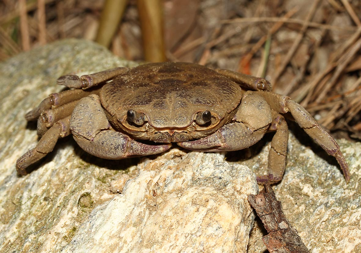 Potamon rhodium - Samos - Brachyura - Krabben - crabs