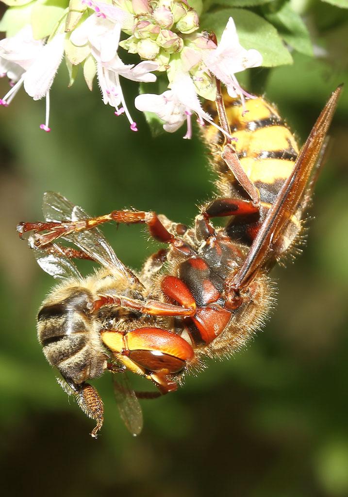 Vespa crabro - Hornisse - beim Zerlegen einer Biene - Vespidae - Faltenwespen - wasps