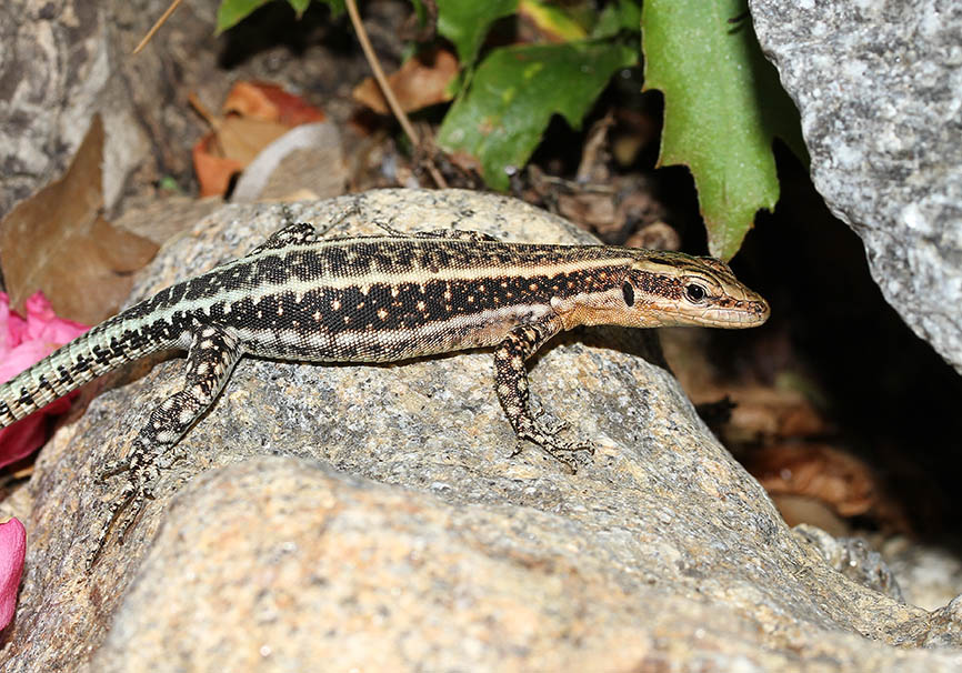 Anatololacerta oertzeni -  Südwestanatolische Eidechse - Ikaria - Lacertidae - Eidechsen - Lizards