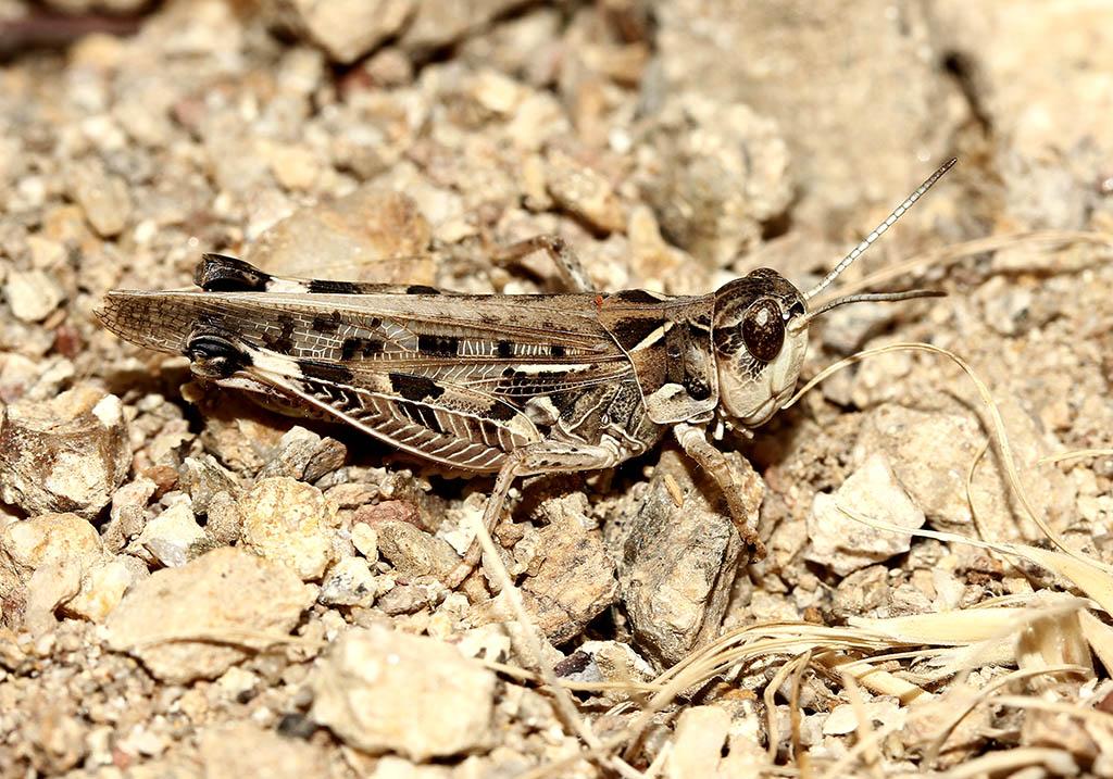 Dociostaurus maroccanus - Marokkanische Wanderheushrecke - Fam. Acrididae/Gomphocerinae  -  Ikaria - Caelifera - Kurzfühlerschrecken - grasshoppers