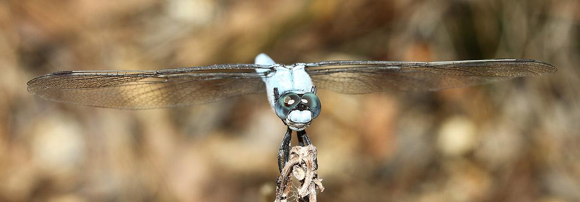 Orthetrum brunneum - Südlicher Blaupfeil - Fam. Libellulidae  -  Samos - Anisoptera - Großlibellen - dragonflies